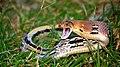 Copper-headed Trinket snake at Kaziranga Tiger Reserve, Assam.jpg