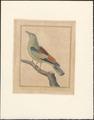 Coracias garrula - 1796-1799 - Print - Iconographia Zoologica - Special Collections University of Amsterdam - UBA01 IZAA100195.tif