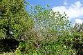 Cordia boissieri - Mounts Botanical Garden - Palm Beach County, Florida - DSC03807.jpg