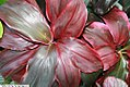 Cordyline terminalis Ruby Red 1zz.jpg