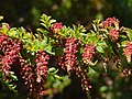 Coriaria ruscifolia subsp microphylla Irazu 2.jpg