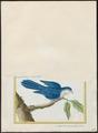 Coriphilus taitianus - 1700-1880 - Print - Iconographia Zoologica - Special Collections University of Amsterdam - UBA01 IZ18500270.tif