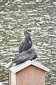 Cormorans (Phalacrocorax carbo) (1).jpg