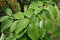 Cornus florida (Flowering Dogwood) (34796659160).jpg