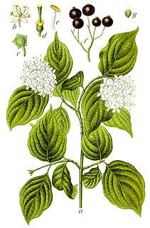 <i>Cornus sanguinea</i> species of plant