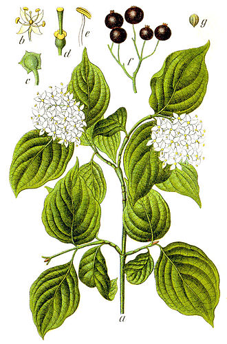 Cornus sanguinea - Common dogwood