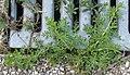 Coronopus didymum plant (06).jpg