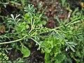Coronopus squamatus inflorescens (20).jpg