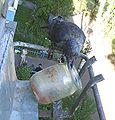 Corvus monedula 004.jpg