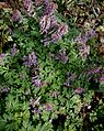 Corydalis solida clump.jpg