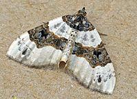 Cosmorhoe ocellata01.jpg