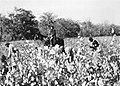 Cotton pickers and overseer around 1850.jpg