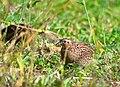 Coturnix ypsilophora -Queensland, Australia-8.jpg