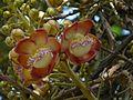 Couroupita guianensis Aubl. (2207135904).jpg