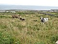 Cows and the North Sound - geograph.org.uk - 1470927.jpg