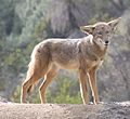 Coyote in Griffith Park 3.jpg