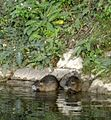 Coypus on the bank of the Ljubljanica.jpg