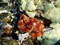 Crab Carpilius convexus.jpg