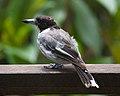 Cracticus torquatus -Rosalie, Queensland, Australia-8.jpg
