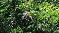 Cratylia hypargyrea Mart. ex Benth. (14272875203).jpg