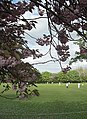 Cricket and cherry blossom - geograph.org.uk - 1282400.jpg