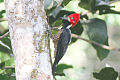 Crimson-crested Woodpecker (Campephilus melanoleucos) (8079741146).jpg