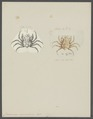 Criocarcinus superciliosus - - Print - Iconographia Zoologica - Special Collections University of Amsterdam - UBAINV0274 095 13 0007.tif