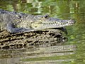 Crocodile in River - Tecolutla - Veracruz - Mexico - 02 (15419705393).jpg