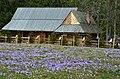Crocus blooming in Siwa Polana - panoramio (8).jpg