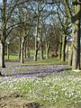 Crocuses at Kirkstall Abbey - geograph.org.uk - 140814.jpg