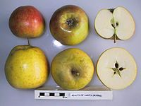 Cross section of Beauty of Hants (Myers), National Fruit Collection (acc. 1924-054).jpg
