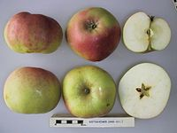 Cross section of Bietigheimer, National Fruit Collection (acc. 2000-021).jpg