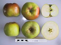 Cross section of Essching, National Fruit Collection (acc. 1948-603).jpg