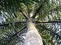 Crownshaft Roystonea -1.JPG