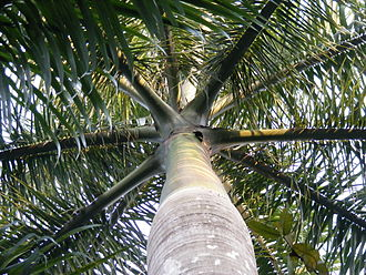 Roystonea regia - View of a mature individual in Kolkata from below. The distinctive crownshaft and canopy of pinnate leaves is clearly visible. Note the smooth trunk and rows of circular leaf scars