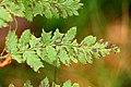 Cryptomycina.pteridis2.-.lindsey.jpg