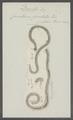 Cucullanus foveolatus - - Print - Iconographia Zoologica - Special Collections University of Amsterdam - UBAINV0274 104 06 0002.tif