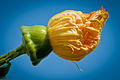 Cucurbita female flower ovary with scalloped margins potiron-2090.jpg