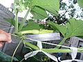 Cucurbita moschata (zapallo espontáneo) yema floral femenina F05 dia-02 regla.JPG