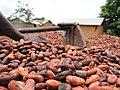 Cultivateur de cacao 04.jpg