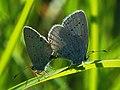 Cupido argiades (in copula) - Short-tailed blue (mating) - Голубянка короткохвостая (спаривание) (42341295962).jpg