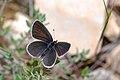Cupido minimus (2557255821).jpg