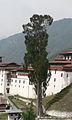 Cupressus cashmeriana Trongsa Dzong 1.jpg