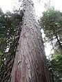 Cupressus nootkatensis (Nootka Cypress), Mount Rainier.jpg