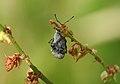 Curculionidae (14195417617).jpg