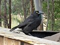 Currawong - Flickr - GregTheBusker.jpg