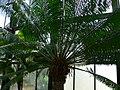 Cycas circinalis 1.jpg
