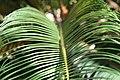 Cycas revoluta 30zz.jpg