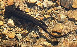 Un triton à ventre de feu, dans son milieu naturel, dans une mare, au Japon.
