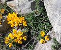Cytisus ardoini1.jpg